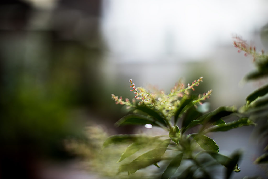 Pieris japonica - das japanische Schattenglöckchen