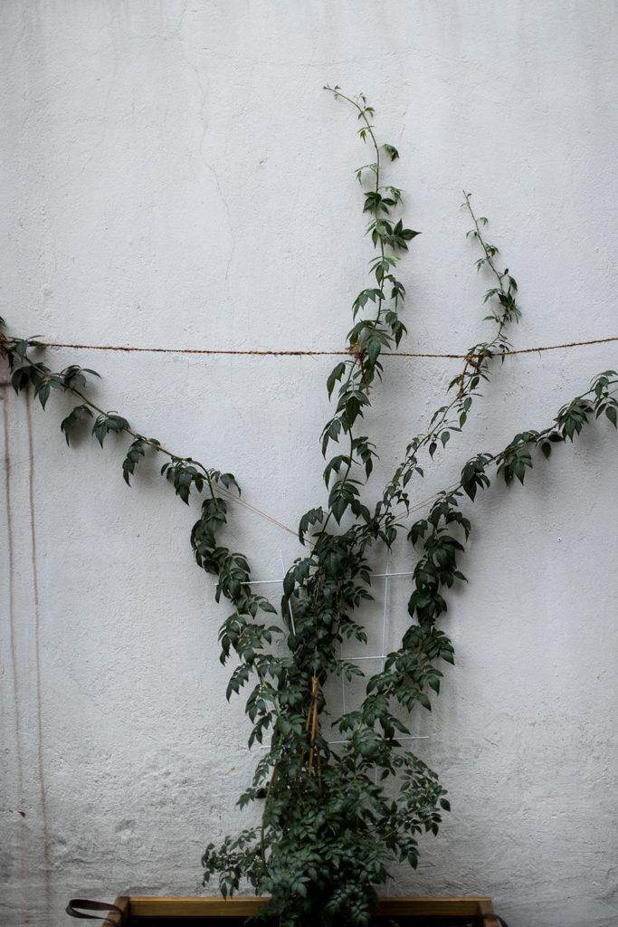 Noch nie in meinem Leben habe ich eine Pflanze so schnell wachsen sehen. Die Rambler Rose macht fünfzig Zentimeter in zwei Wochen.