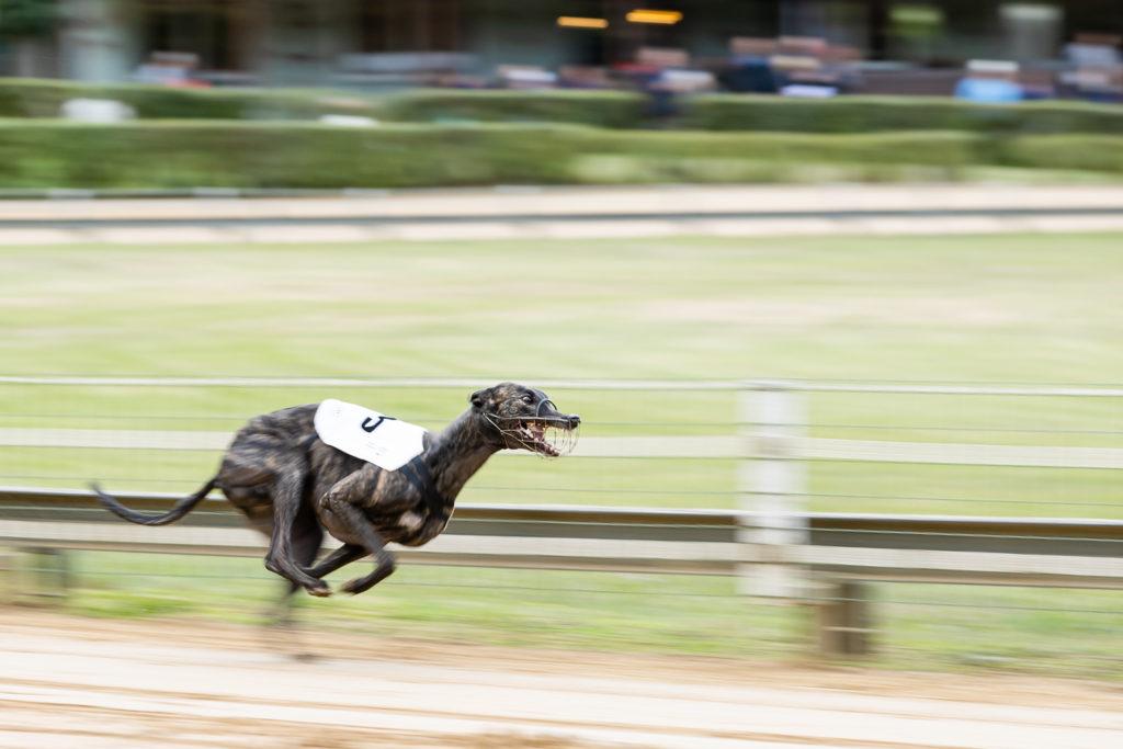 @ National Geographic: Greyhounds sind Windhunde, aber nicht alle Windhunde sind Greyhounds