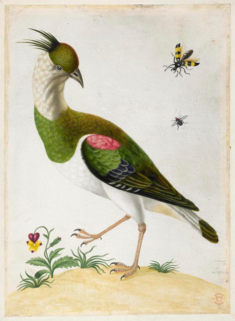 """Maria Sibylla Merian, ca. 1701 -1705, aus dem Album Merian's """"Drawings of Surinam Insects & c"""", © The Trustees of the British Museum"""